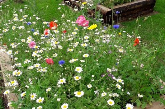 wildflowers in raised beds